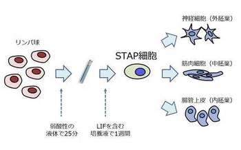 STAP細胞.jpg